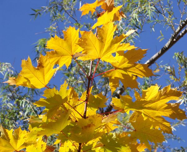 maple and oak leaves