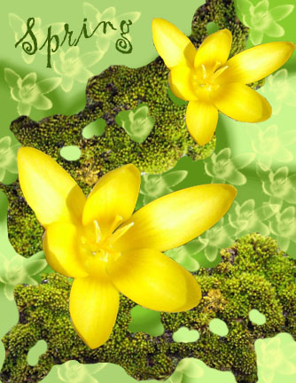 yellow crocus spring card