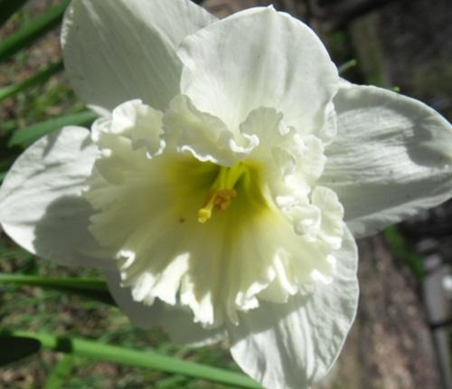 E lily