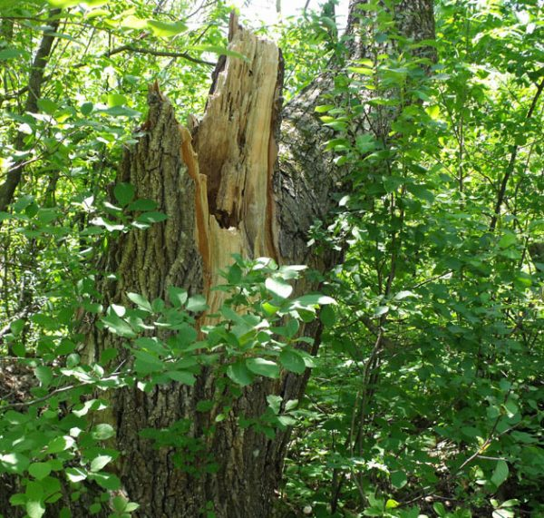 fallen elm