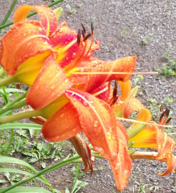 rain on day lillies