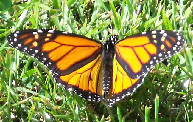 Monarch Butterfly, resting with spread wings, just for a moment on the grass