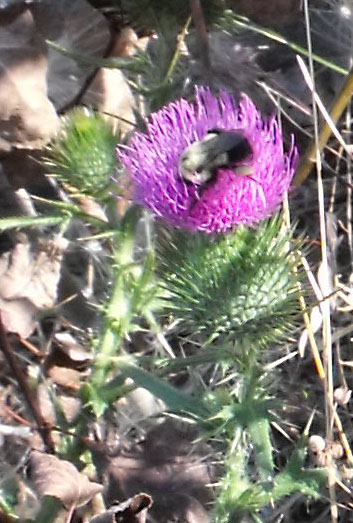 Bumblebee on a Scotch Thistle in the rocks of the Ottawa River