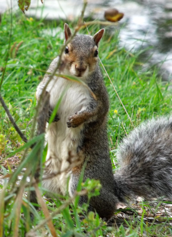 grey squirrel caught me taking his photo