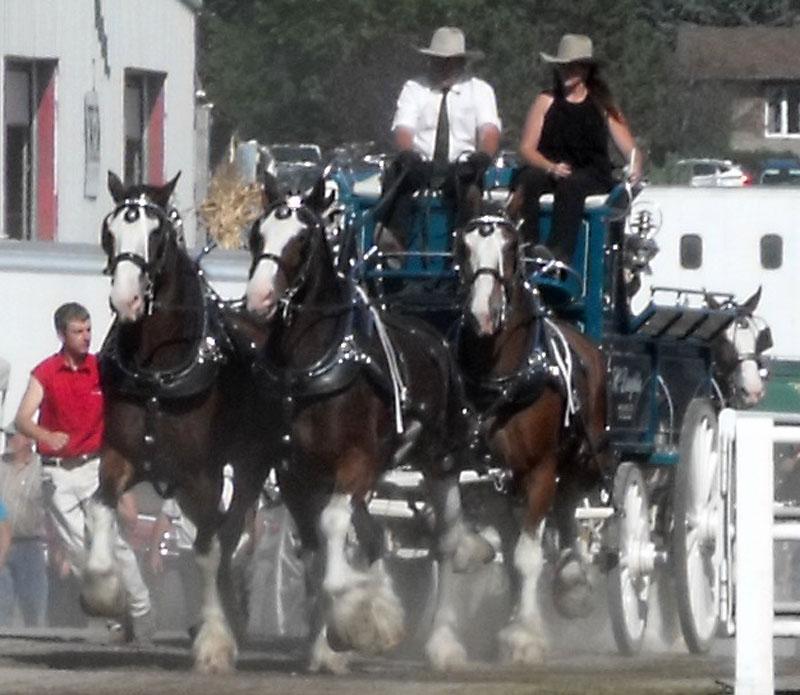 4 horse hitch speeding through gate