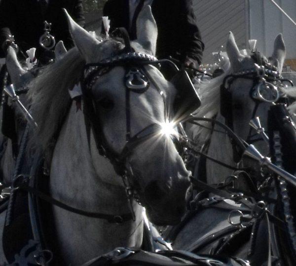 6 horse hitch