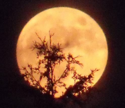 Orange moon through white cedar tree