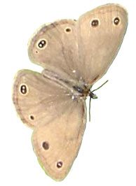 original little brown moth