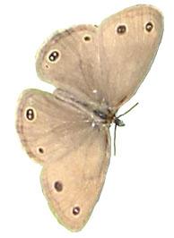 original little brown moth