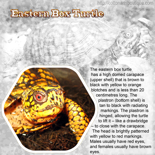 E - Eastern Box Turtle